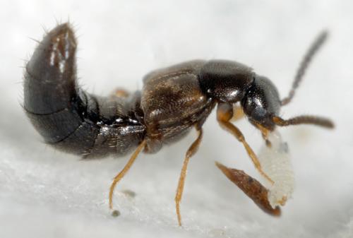 <em>Dalotia coriaria</em> adult